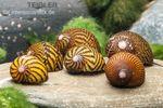 Mosaik-Rennschnecke, Neritina sp. 001