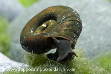 Posthornschnecke, Planorbarius corneus (Kaltwasser & Warmwasser)