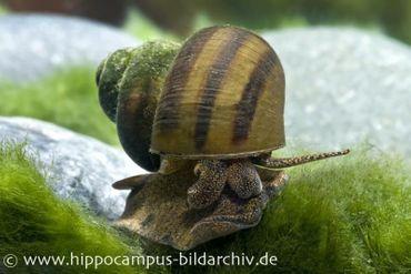 Sumpfdeckelschnecke, Viviparus viviparus (Kaltwasser & Warmwasser)