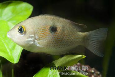 Indischer Buntbarsch, Etroplus maculatus