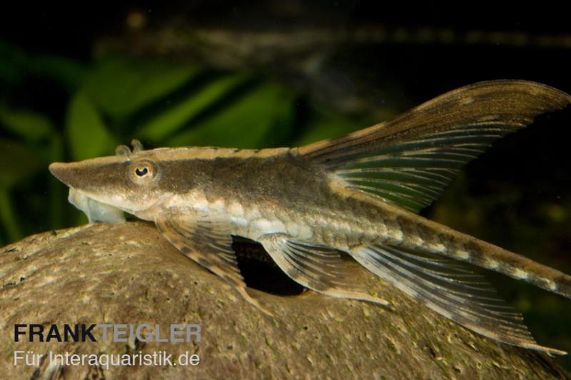 Panama st rwels sturisoma panamense tiere zierfische for Gartenteichfische arten