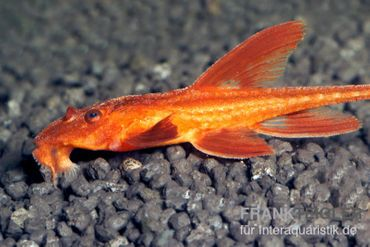 Roter Hexenwels, Rineloricaria spec.