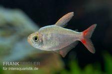 Rotblauer Kolumbianer, Hyphessobrycon columbianus – Bild 3