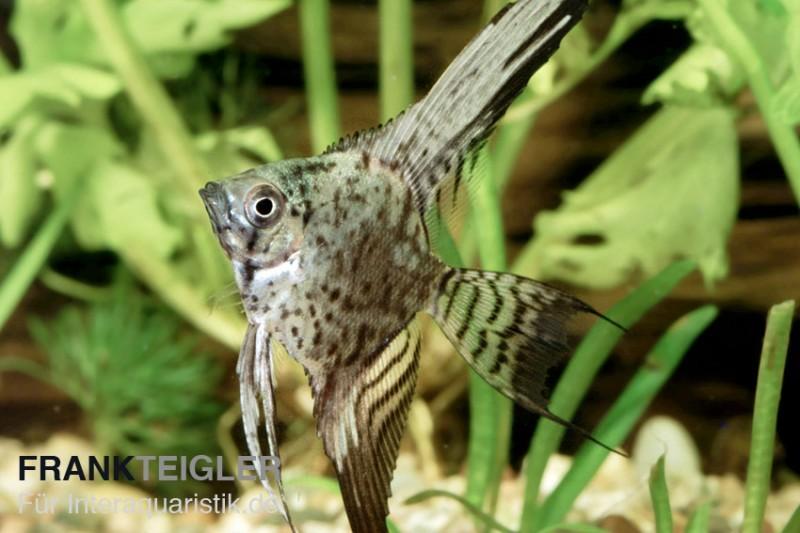 Leopard skalar pterophyllum scalare tiere zierfische for Skalar futter
