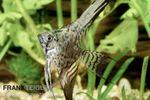 Leopard-Skalar, Pterophyllum scalare 001