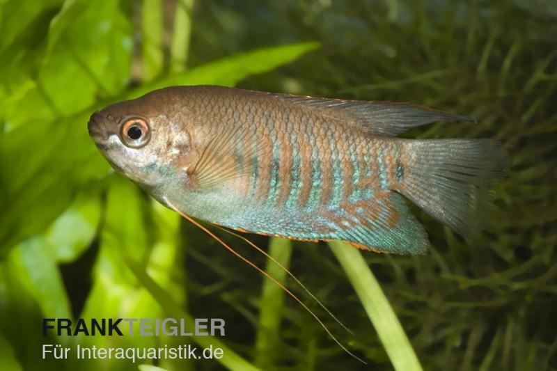 Dicklippiger fadenfisch trichogaster labiosa tiere zierfische for Asiatische zierfische