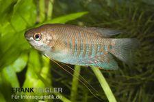 Dicklippiger Fadenfisch, Trichogaster labiosa