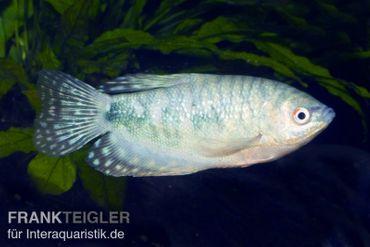 Blauer Fadenfisch, Trichogaster trichopterus, DNZ