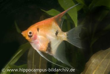 Skalar Red Devil, Pterophyllum scalare