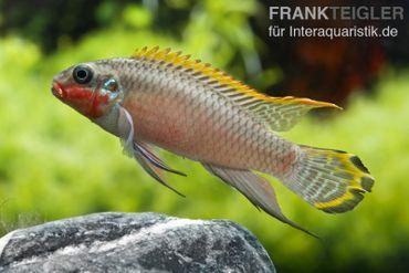 Smaragdprachtbarsch, Pelvicachromis taeniatus Nigeria Red, 4-5 cm
