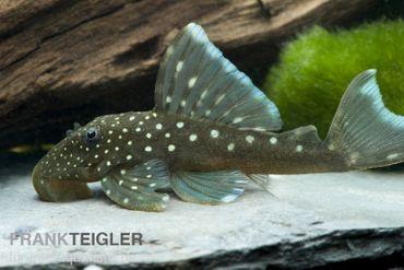 Blauer Phantomwels, Hemiancistrus spec. L128, 4-6 cm