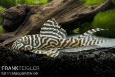 Königstiger-Harnischwels, Hypancistrus spec. L333 spezial, 3-4 cm