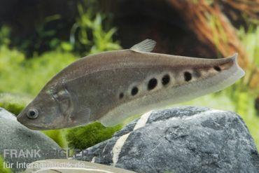 Tausenddollarfisch, Chitala chitala (für Großaquarien)
