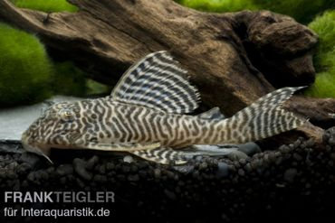 Königstiger-Harnischwels, Hypancistrus spec. L 66, 8-10 cm – Bild 1