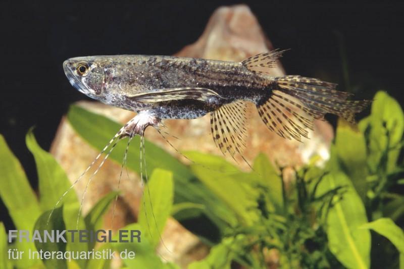 Afrikanischer schmetterlingsfisch pantodon buchholzi for Gartenteichfische arten