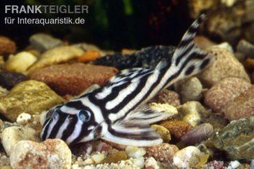 Zebra-Harnischwels, Hypancistrus zebra L046