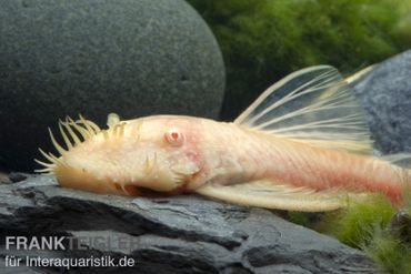 Goldener Antennenwels, Ancistrus sp. Gold