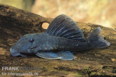 Blauer Zwergharnischwels, Ancistrini spec. L239, 4-6 cm