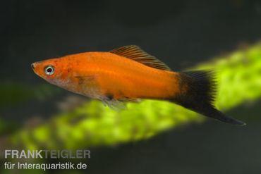 Roter Wagtail-Schwertträger, Xiphophorus helleri