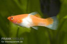 Koi Schwertträger rot-weiß (kohaku), Xiphophorus helleri