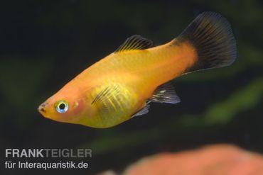Marygold Wagtail-Platy, Xiphophorus maculatus