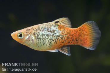 Platy Pfeffer & Salz, Xiphophorus maculatus