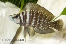 Perlhuhnbarsch, Altolamprologus calvus BLACK, DNZ