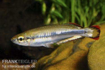 Rotschwanzährenfisch, Bedotia geayi