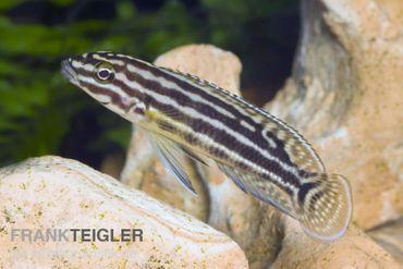 Vierstreifen-Schlankcichlide, Julidochromis regani KIPILI, DNZ