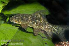 Harlekin-Fransenlipper, Labeo cyclorhynchus