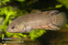 Orange-Buschfisch, Microctenopoma ansorgii