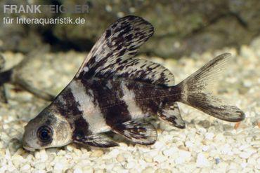 Wimpelkarpfen, Myxocyprinus asiaticus (Kaltwasser & Warmwasser)