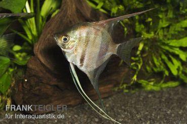 """Manacapuru Rotrücken Skalar, Pterophyllum cf. scalare """"Lago Manacapuru"""" – Bild 2"""