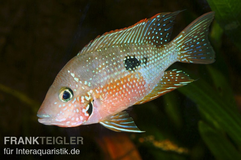 Elliots buntbarsch thorichthys ellioti dnz tiere for Asiatische zierfische