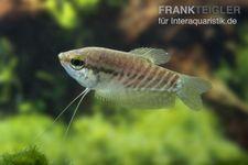 Schlangenhautfadenfisch, Trichogaster pectoralis