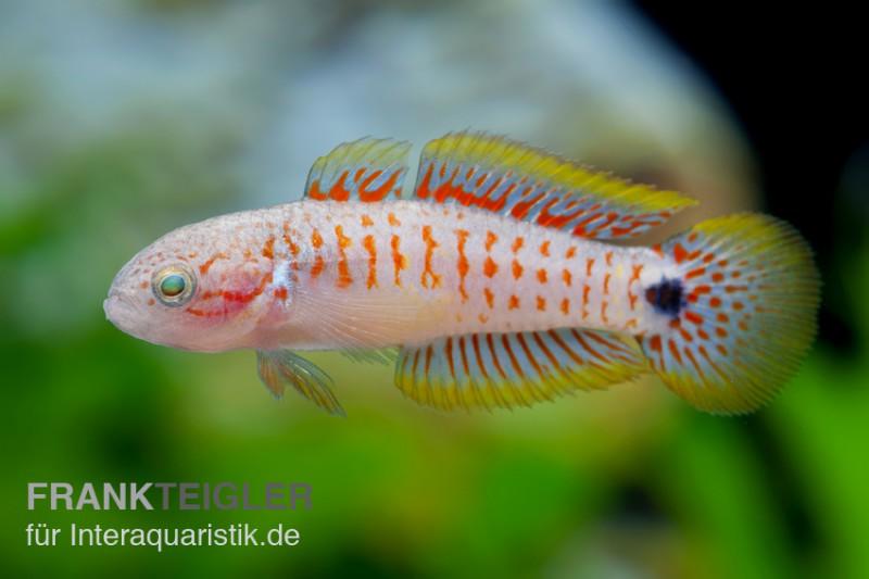 Pastellgrundel tateurndina ocellicauda tiere zierfische for Kampffische arten