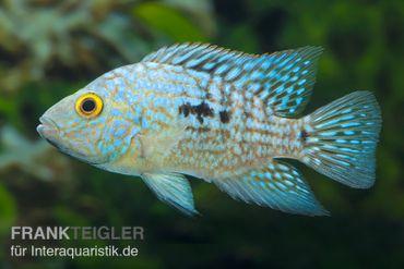 Perlcichlide, Herichthys carpintis