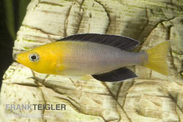 "Blauer Heringscichlide, Cyprichromis leptosoma ""Tricolor"", DNZ"