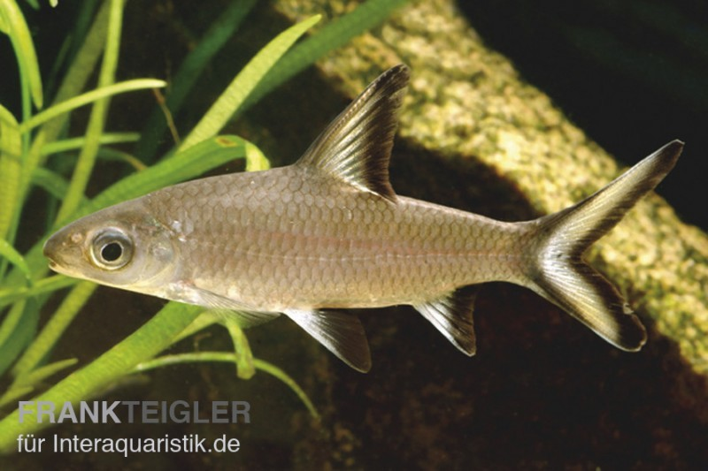 Haibarbe balantiocheilos melanopterus tiere zierfische barben for Gartenteichfische liste