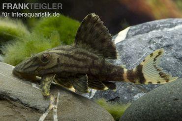 Royal Pleco, Panaque nigrolineatus L190