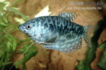 Marmorfadenfisch, Trichogaster trichopterus var. Marmor (Cosby)