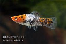 Koi Schwertträger tricolor (rot-weiß-schwarz), Xiphophorus helleri, 3-5 cm – Bild 3