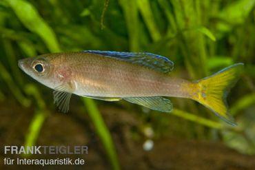 "Blauer Heringscichlide, Cyprichromis leptosoma ""Utinta"", DNZ"