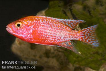 Aulonocara spec. Firefish, DNZ