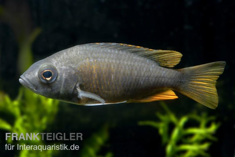 Kadango cichlide copadichromis borleyi kadango red fin for Gartenteichfische arten