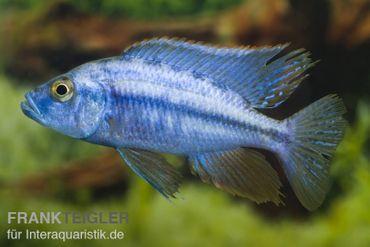 Messerbuntbarsch, Dimidiochromis compressiceps, DNZ