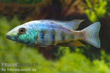 Sandtaucher, Fossorochromis rostratum, DNZ