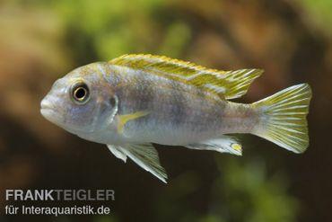 Perlmutt-Labidochromis, Labidochromis spec. Perlmutt, DNZ