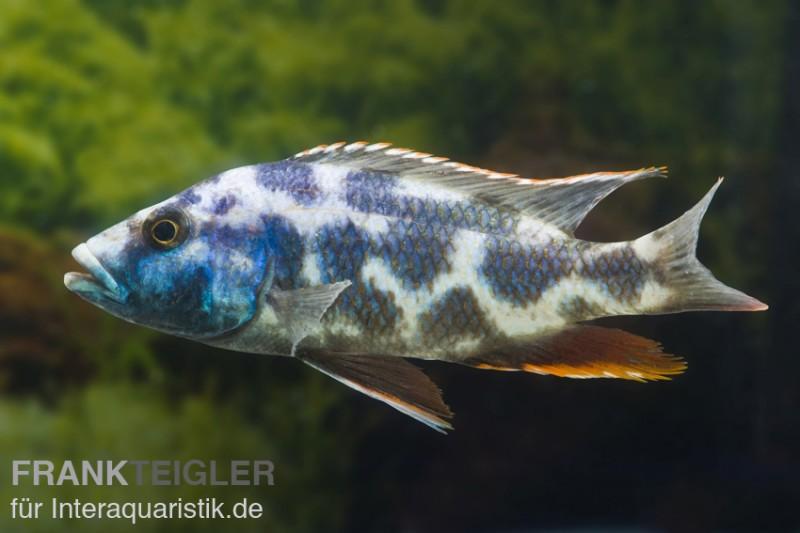schl fer nimbochromis livingstoni dnz tiere zierfische barsche skalare malawisee cichliden. Black Bedroom Furniture Sets. Home Design Ideas