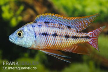 "Protomelas taeniolatus ""Red Empress"""